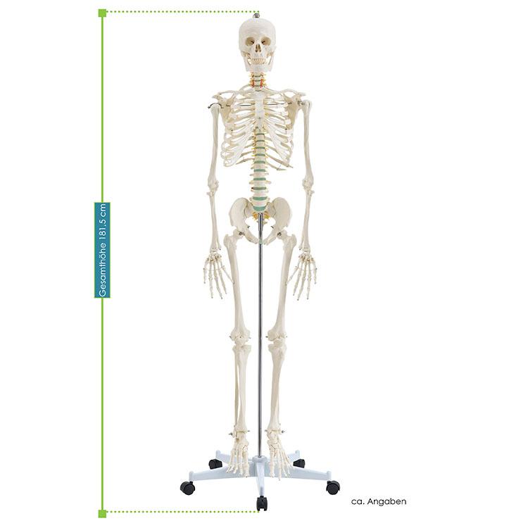 Abmessungen vom Anatomie Skelett des menschlichen Körpers - inklusive Anatomie Poster, Schutzhülle und Rollständer